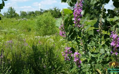 Purple Loosestrife (Lythrum salicaria): A Pretty, Ugly Plant