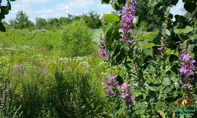 Bad Purple Loosestrife taking over wetlands