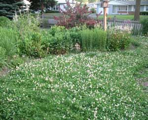 photo of lawn clover