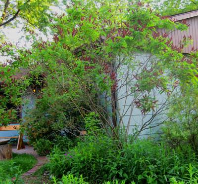 Indigo Bush (Amorpha fruitcosa)