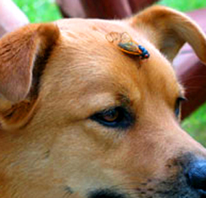 17 year cicada on my dog's head. Notice the red cicada eyes!