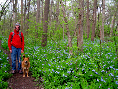 A sea of Virginia Blue Bells at Knock Knolls Park in Naperville, March 2012 (our very early spring)! Even my dog is happier!