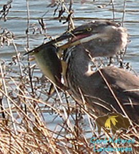 Heron eating a fish water is a precious resource