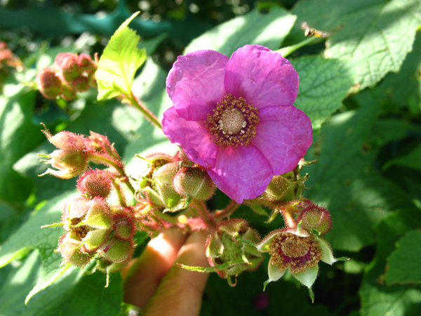 Plant profile: Purple Flowering Raspberry, a summer beauty