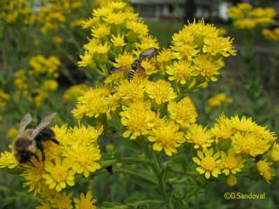 Photo os stiff goldenrod with insects